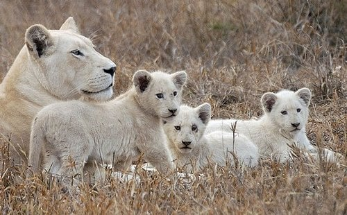 white lion timbawati snow Play lion kitten cute cat Africa  9 Reasons Why the White Lion is Beautiful