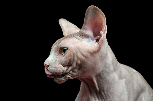 Cat Without Hair A Special Sighting Animals Zone