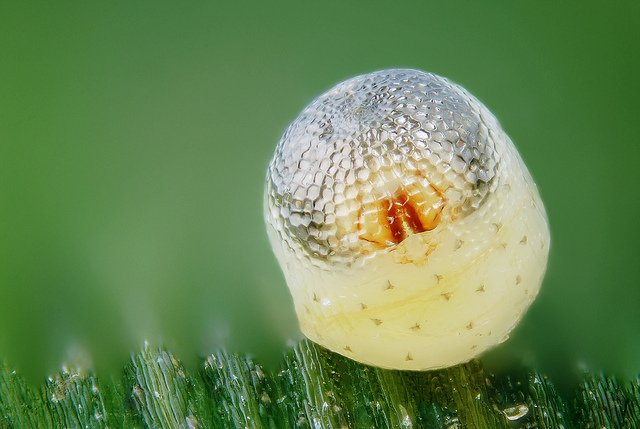 Butterfly Egg With Embryo