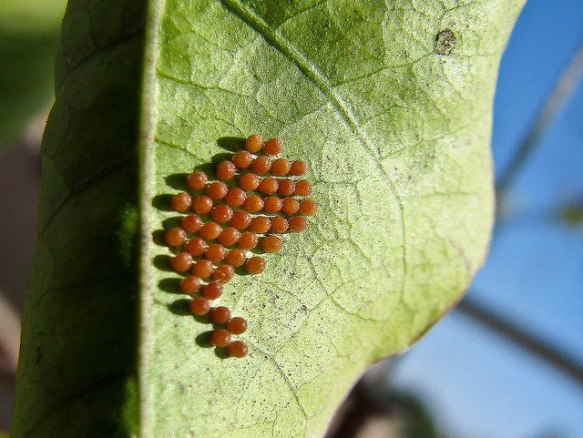Cluster of Butterfly eggs