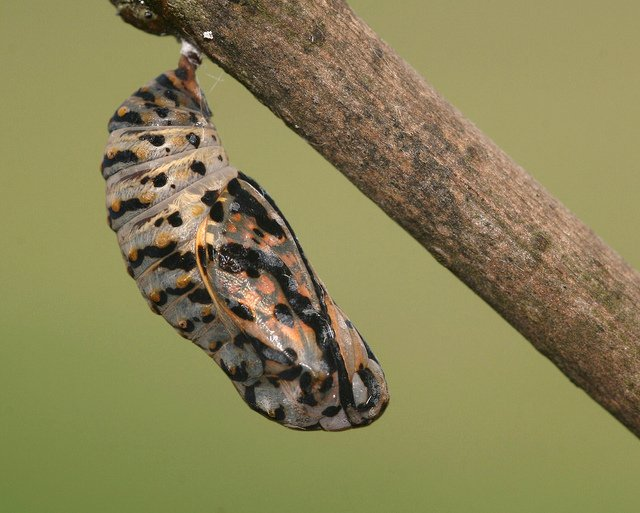 Fully Developed Butterfly Pupa (Chrysalis)