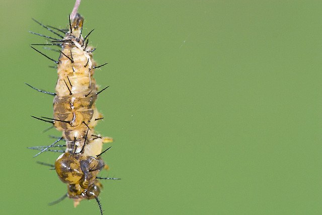 Caterpillar Transforming into pupa