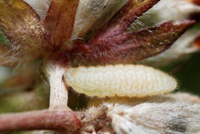 A White Caterpillar