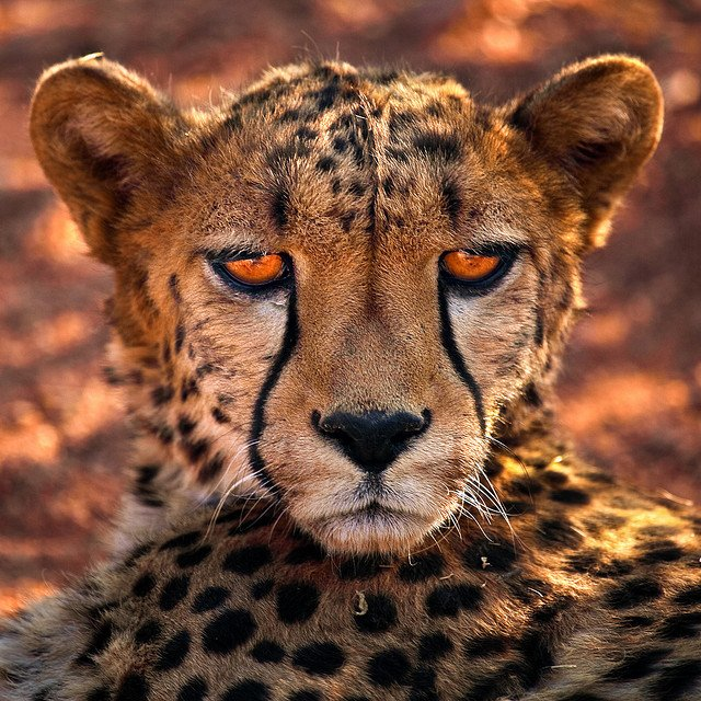 Mean look Cheetah
