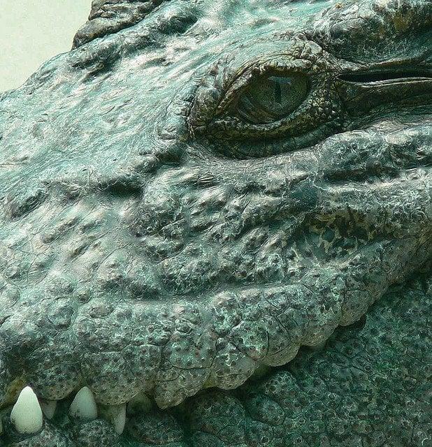 Scary Crocodile Stare