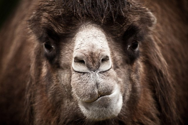 angry camel face
