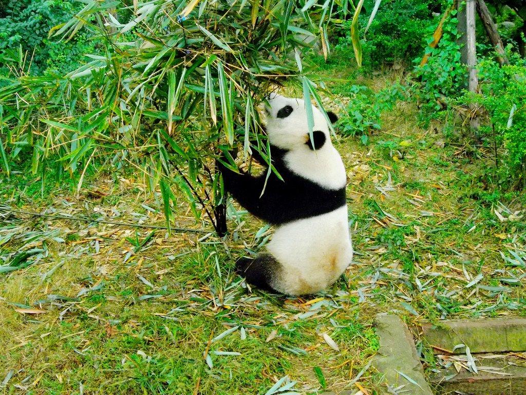 Panda bear eating bamboo leaves