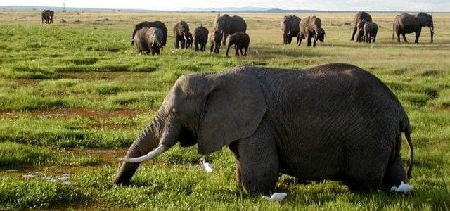 African Elephants Biggest herbivore