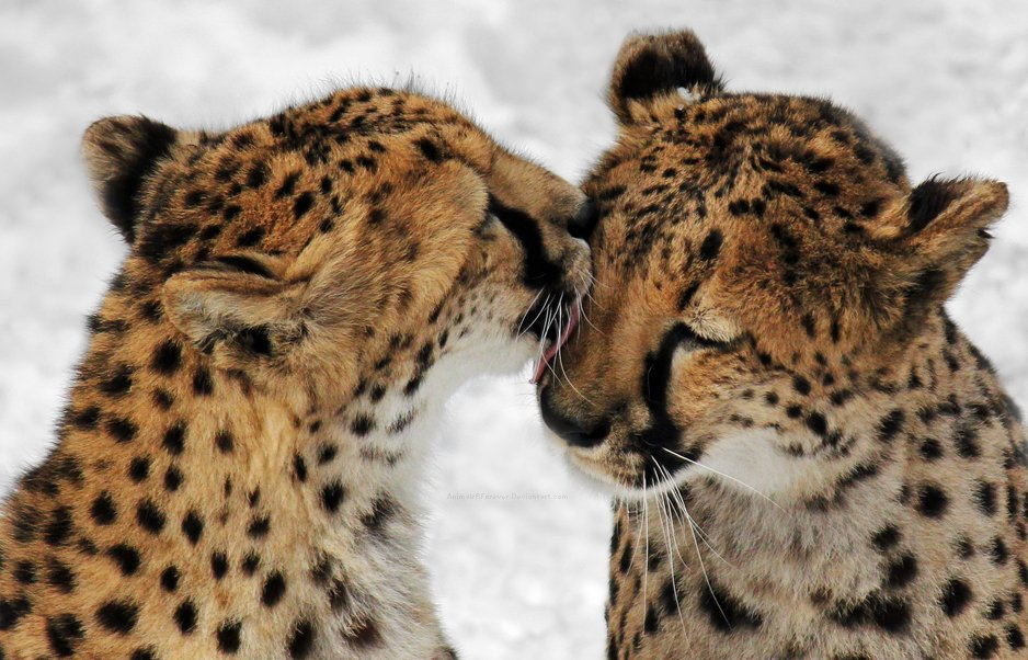 animal animals cute smile showing cheetah zone each wild kiss towards couple ll cats looked cheetahs than valentine kisses ferret