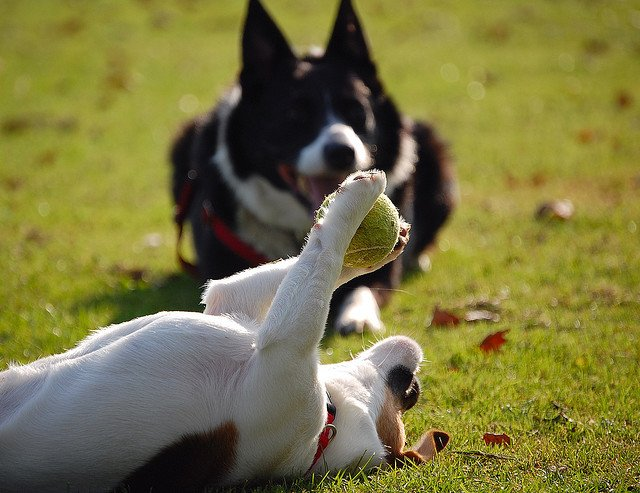 Dogs and ball play