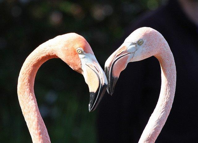 Flamingos animal Love