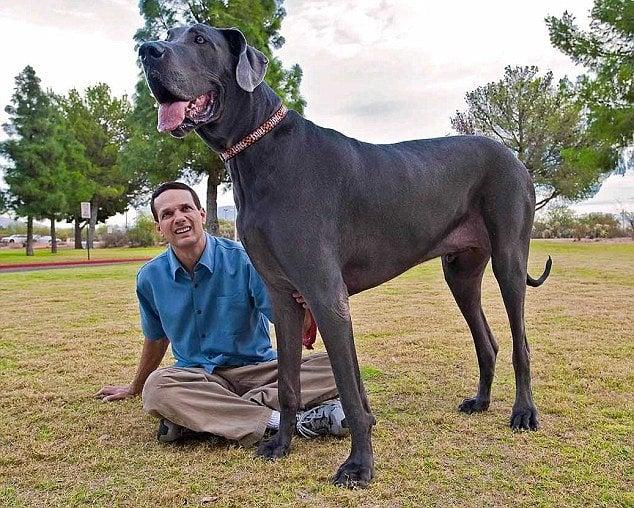 Giant George Biggest Dog