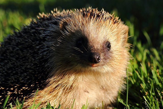Hedgehog face and eyes in grass