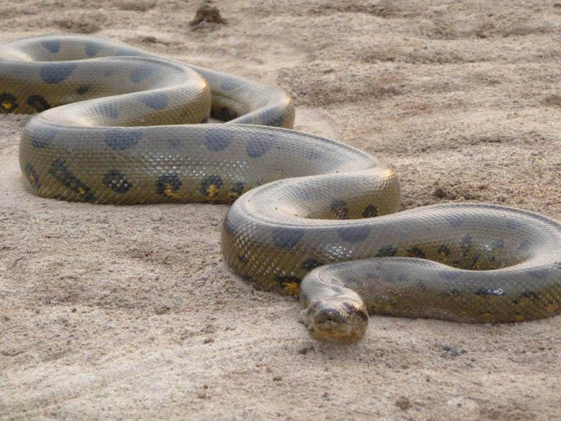 Largest Snake green anaconda