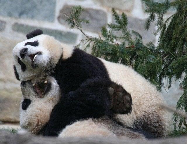 animal lovr - Panda couple passion hug