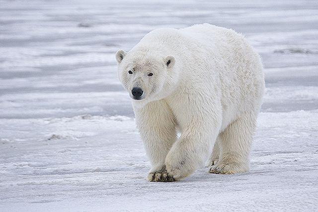 Polar Bear Biggest Carnivore