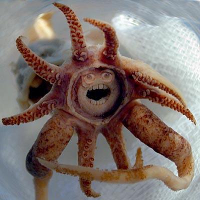Promachoteuthis sulcus Squid