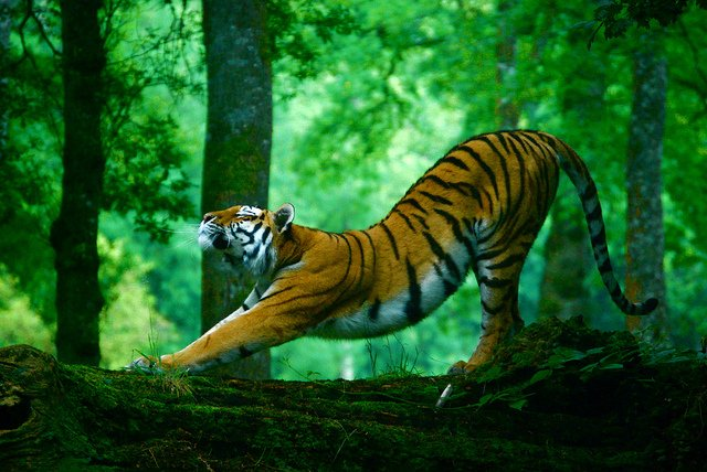 Siberian Tiger - The Amur Tiger Biggest Cat