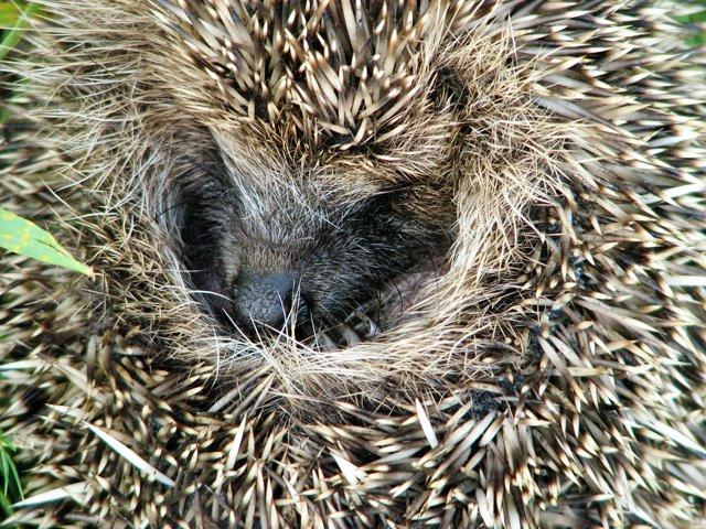 hedgehog babay care