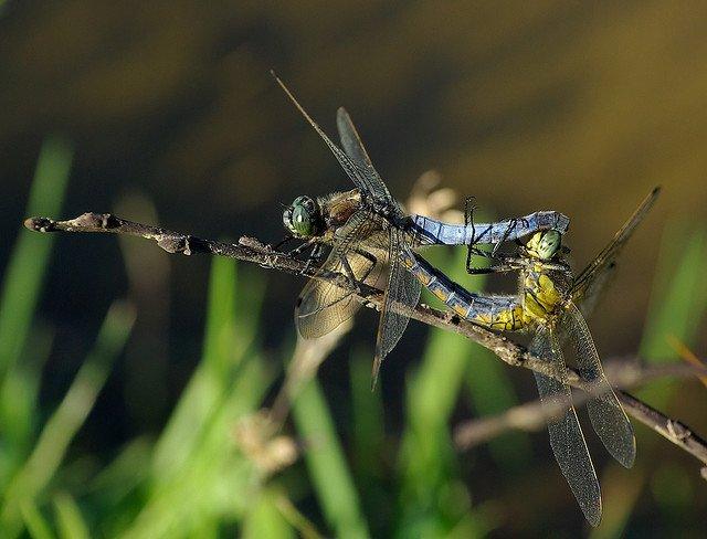 dragon fly romance