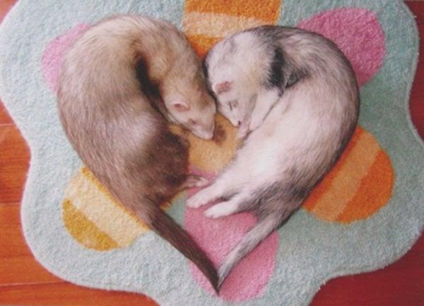 ferrets in heart love