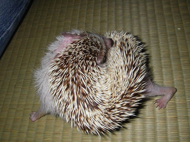 baby hedgehog chasing its own tail