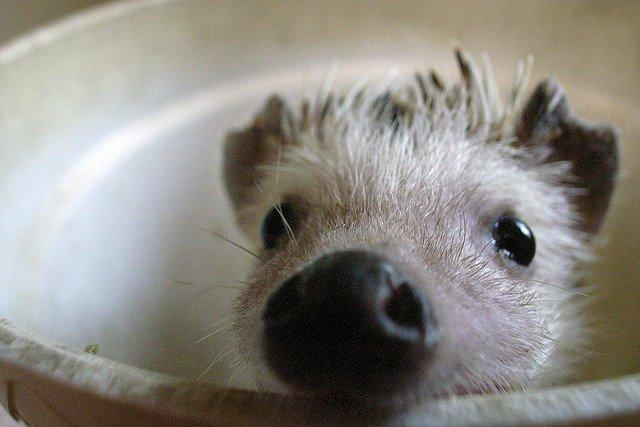 Baby hedgehog cute closeup