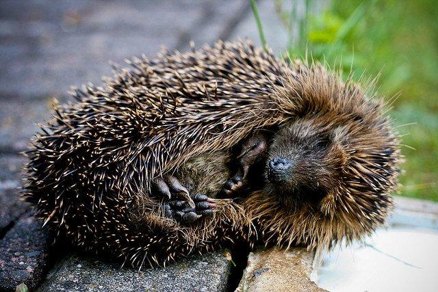 hedgehog rolling on pavement