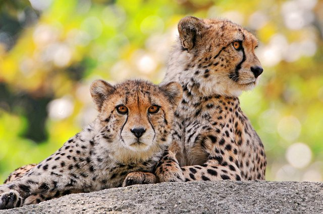 cheetah as pets
