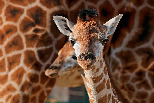 giraffe no vocal chords