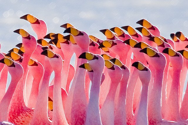 group of pink falmingos with yellow and black beaks