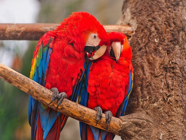 two-colorful-Macaw-birds-tree
