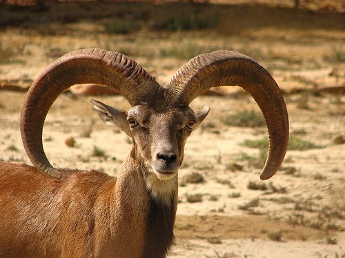 Argali Sheep with maginificient horns