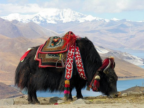 domestic yak in tibet
