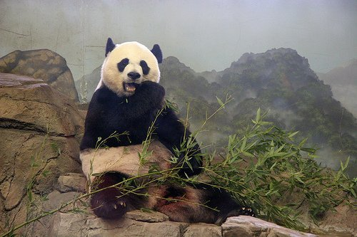 giant panda on himalayan mountain