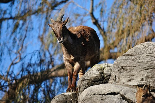 himalayan tahr standing on a rock