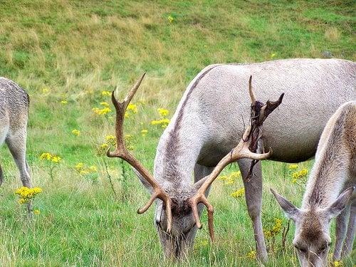 Bukhar deer