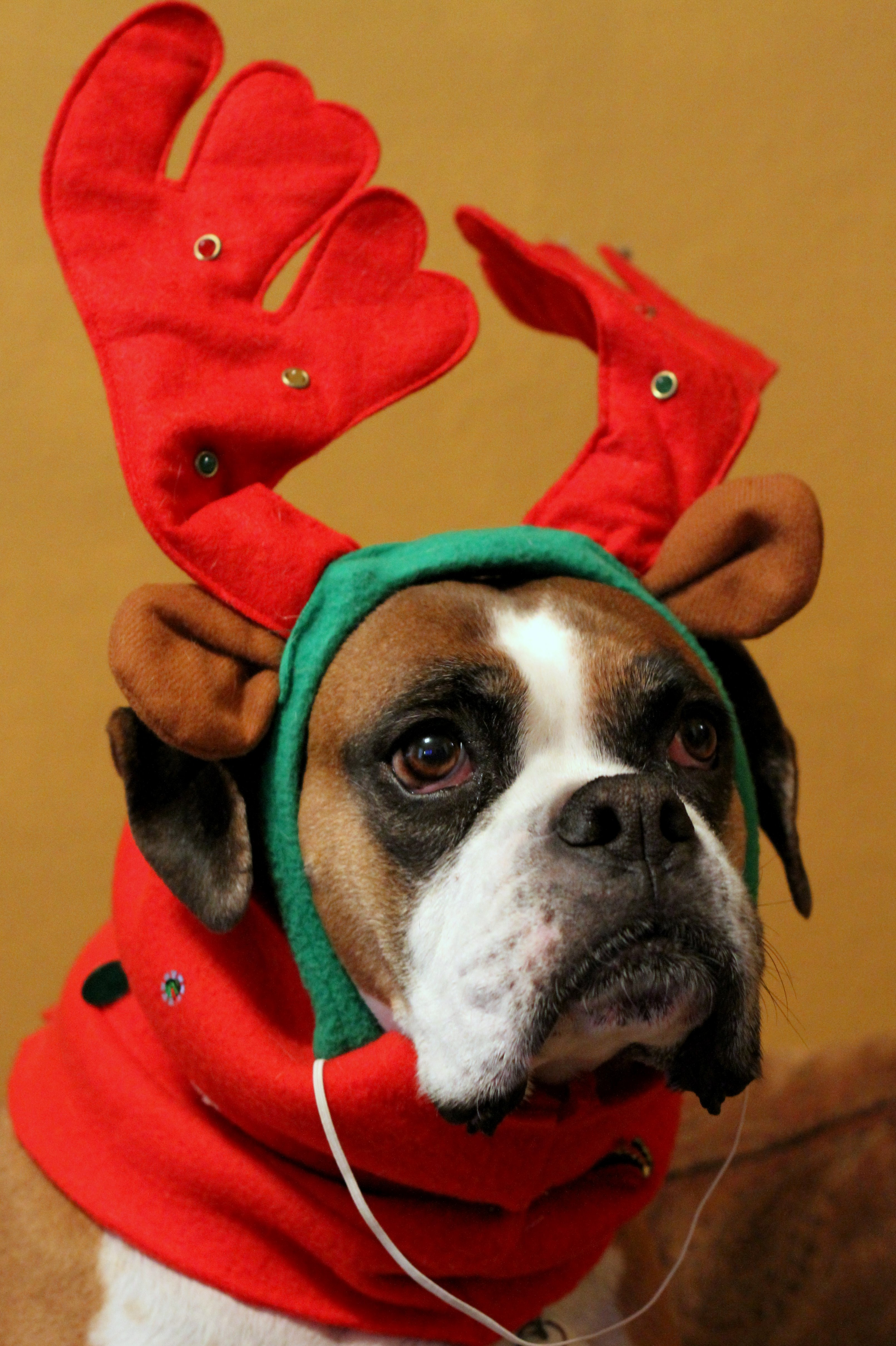 Dogs In Christmas Costumes Animals Zone