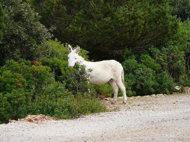 albino-donkey