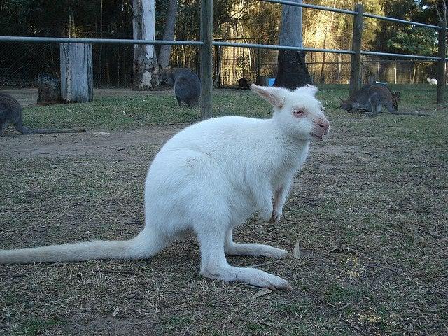 albino-kangaroo