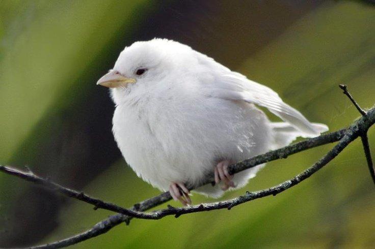 albino-sparrow