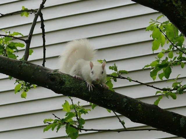 albino-squirrel
