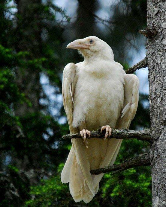 white-raven