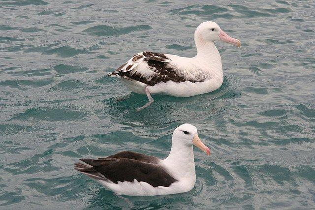 albatrosses-love