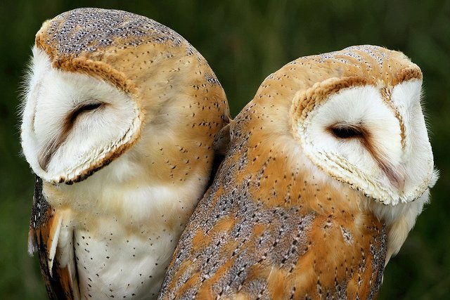 barn-owls-love