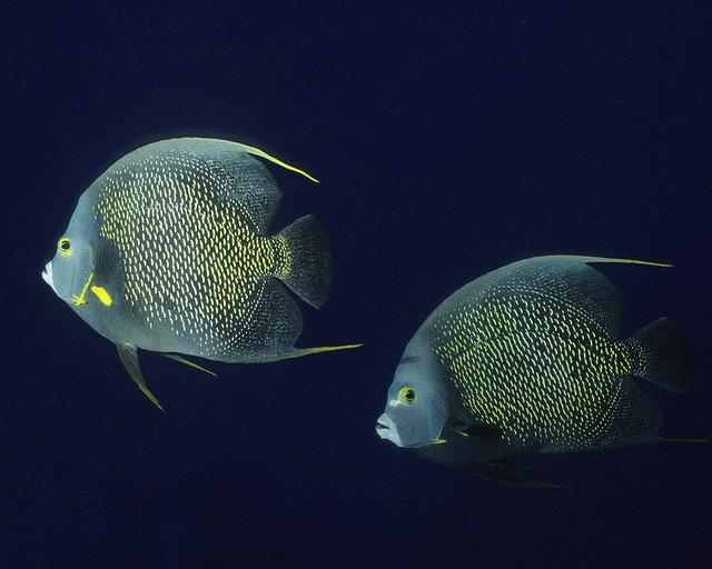 french-angelfish-couple