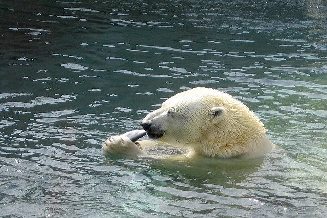 polar-bear-lunch-time