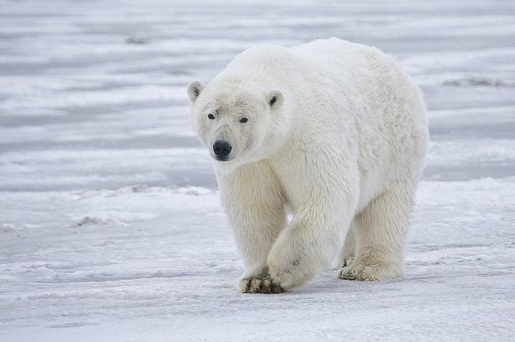polar-bear-walking