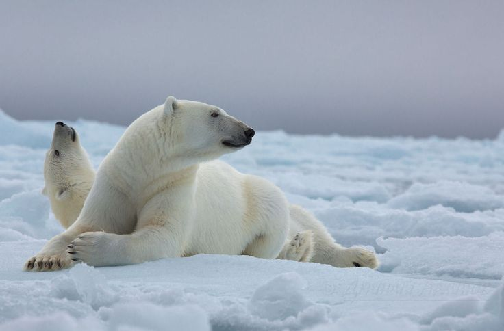 9 Interesting Facts about Polar Bears | Animals Zone
