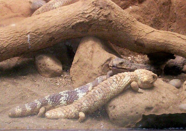 shingleback-skink-couple